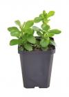 stevia sugar herb