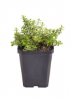 thyme golden variegated