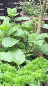 Mint Parsley