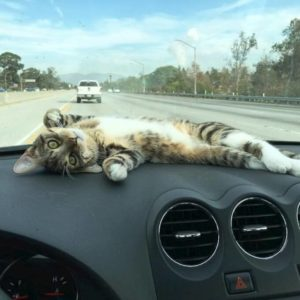 Catmint dashboard cat